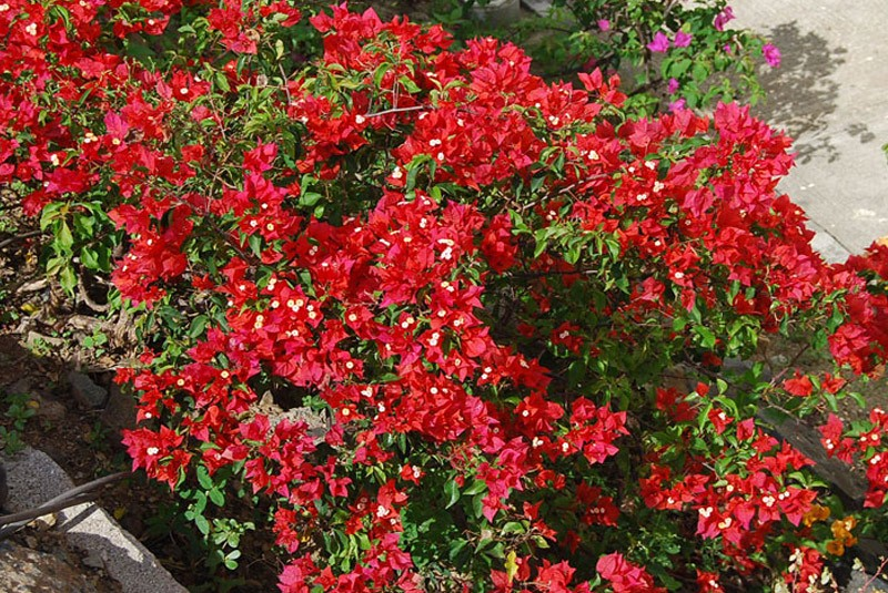 bougainvillea flame red.jpg