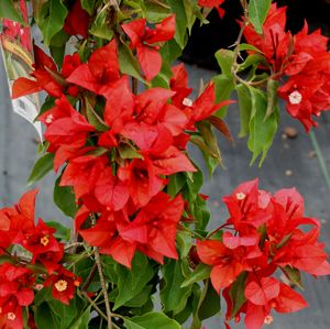 Flame Red Bougainvillea.jpg