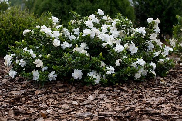 Gardenia jasminoides.jpg
