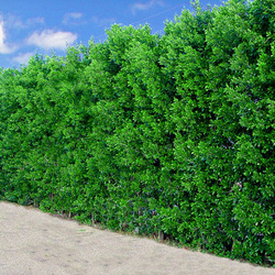 Green Hopseed Bush Hedge.jpg