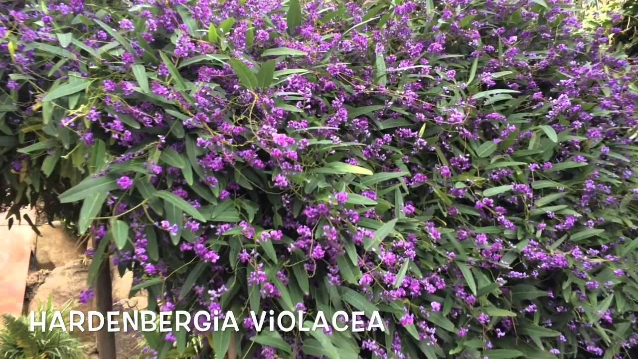 Hardenbergia violacea vine.jpg