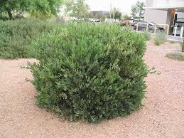 Jojoba Plant.jpg