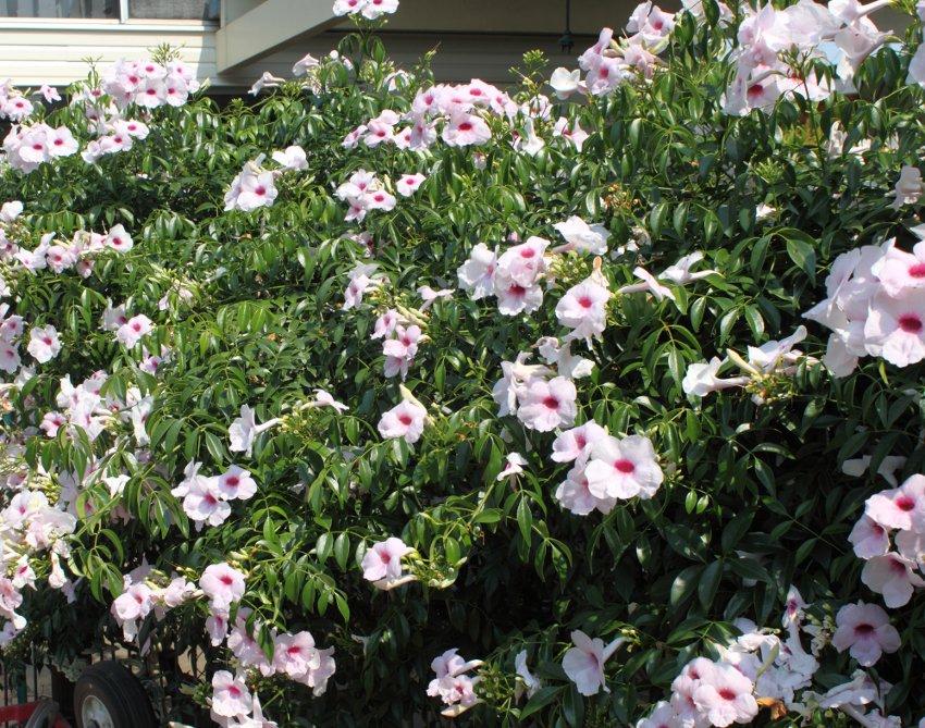 Pandorea jasminoides Vine.jpg
