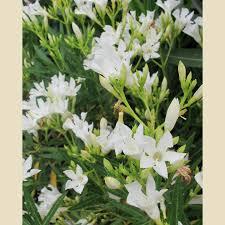 Petite white Oleander.jpg
