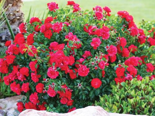 Petite Red-Rose.jpg