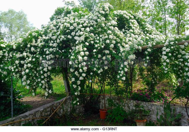 Rosa banksiae 'Alba Plena'.jpg