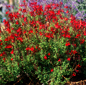 Salvia Greggii Red.png