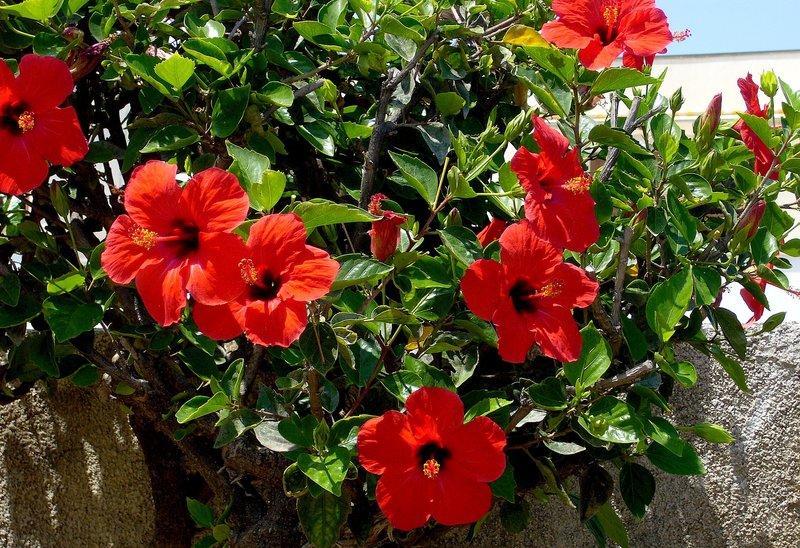 San Diego Red Hibiscus.jpg