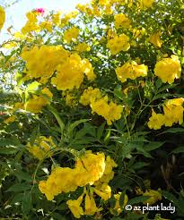 Tecom Arizona Yellow Bell.jpg