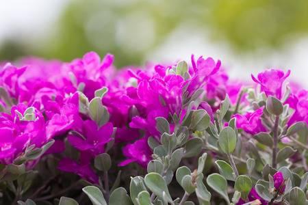 Texas Sage pink-leucophyllum-frutescens.jpg