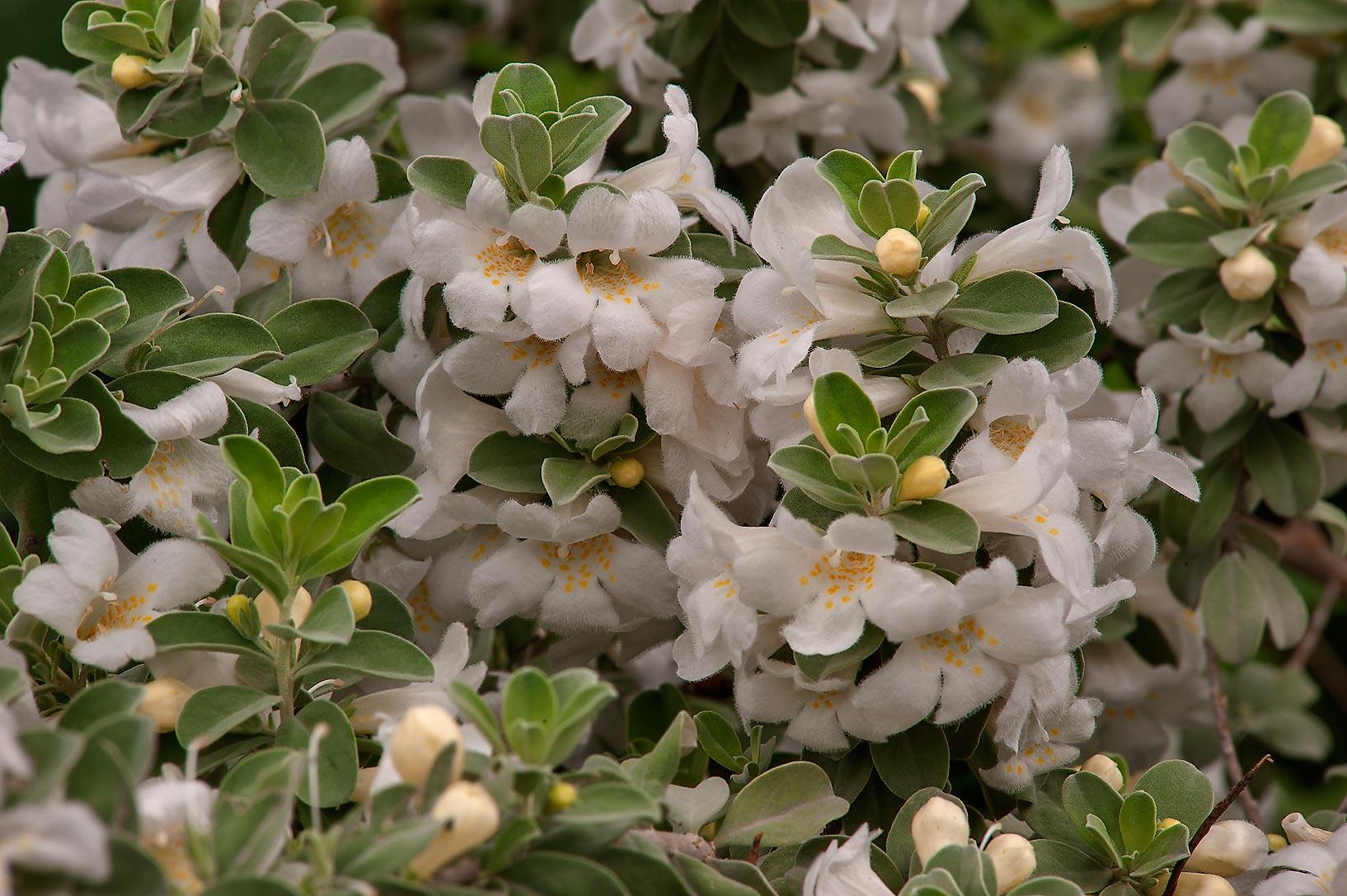 Texas Sage White-leucophyllum-frutescens.jpg