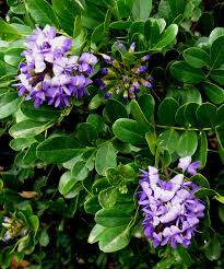 Texas-Mountain-Laurel Shrub 2.jpg