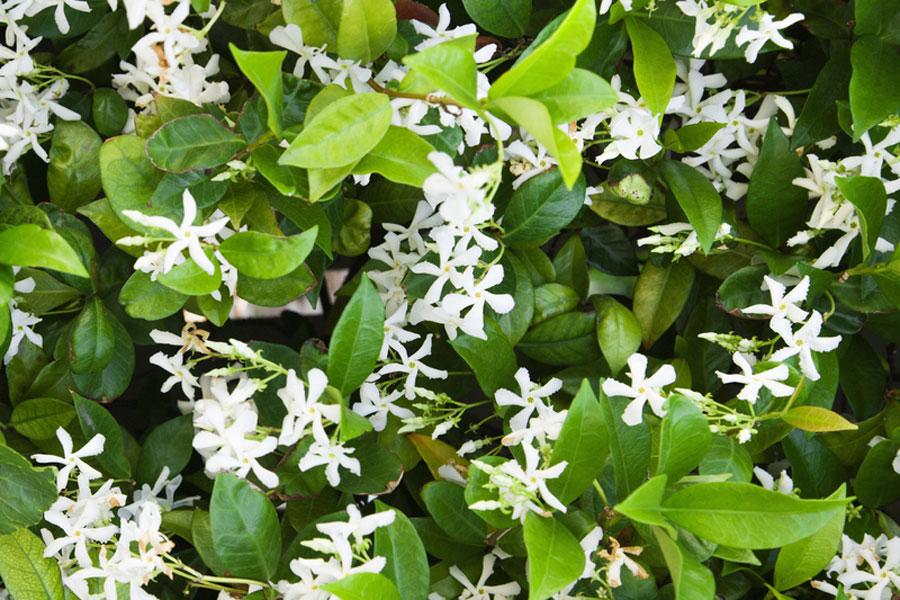 Trachelospermum jasminoides 'Star'.jpg