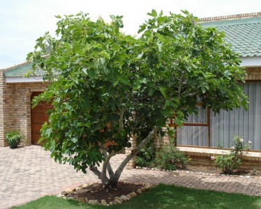 Mission Fig Tree.jpg