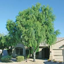 Sisso Tree.jpg