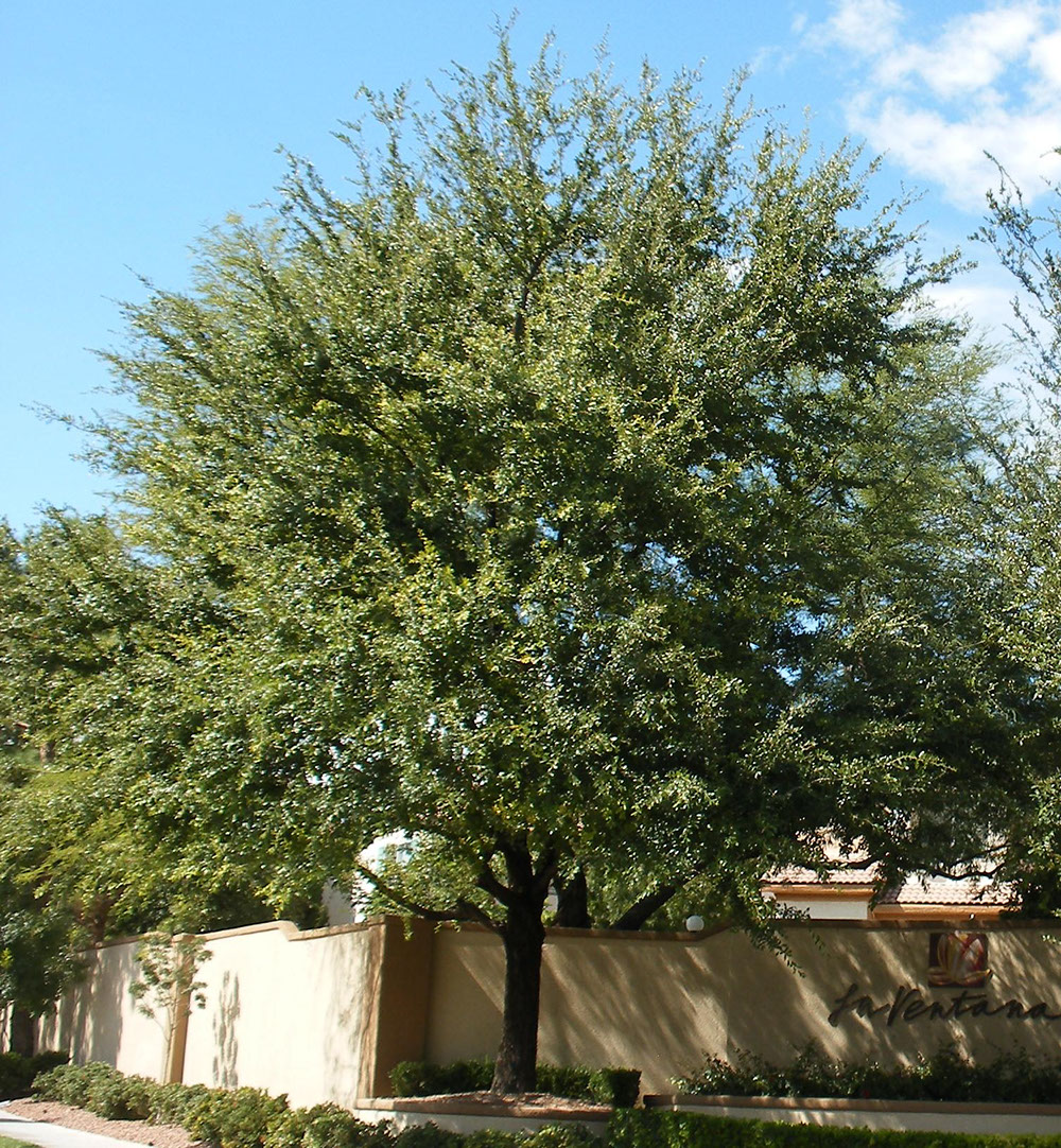 Sounthern Live Oak.jpg