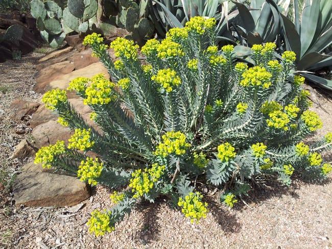 Gopher Plant.jpg