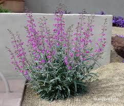 Parry's Penstemon.jpg