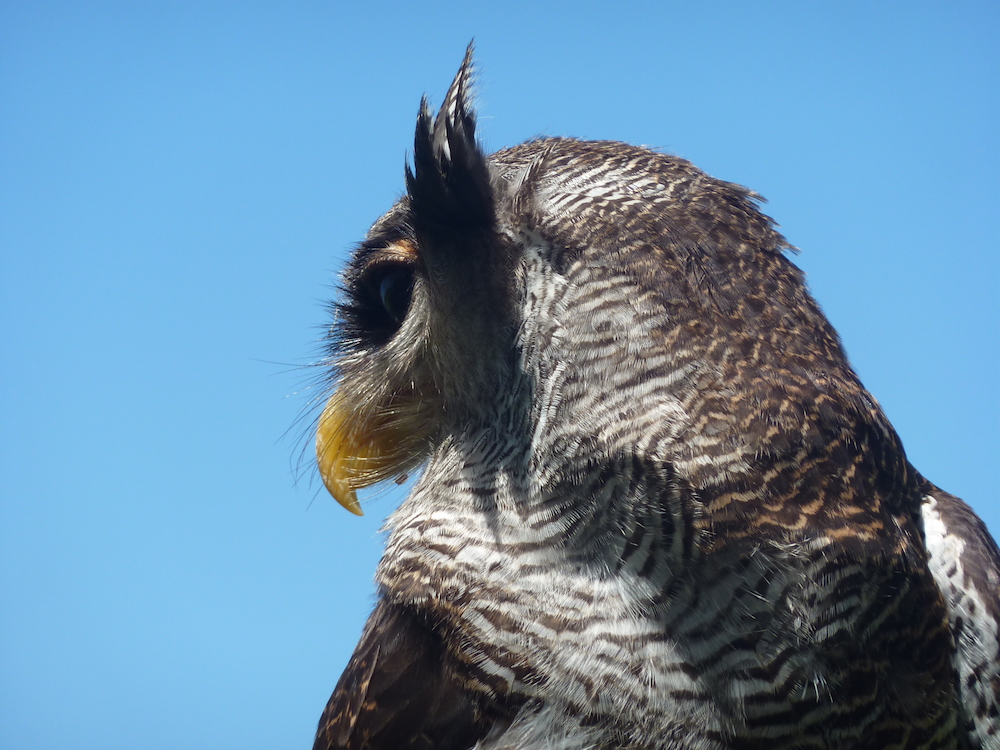 A barred eagle-owl, Bali Bird Park, Bali, Indonesia.    All images are copyright Nikki Savvides 2011-2018.