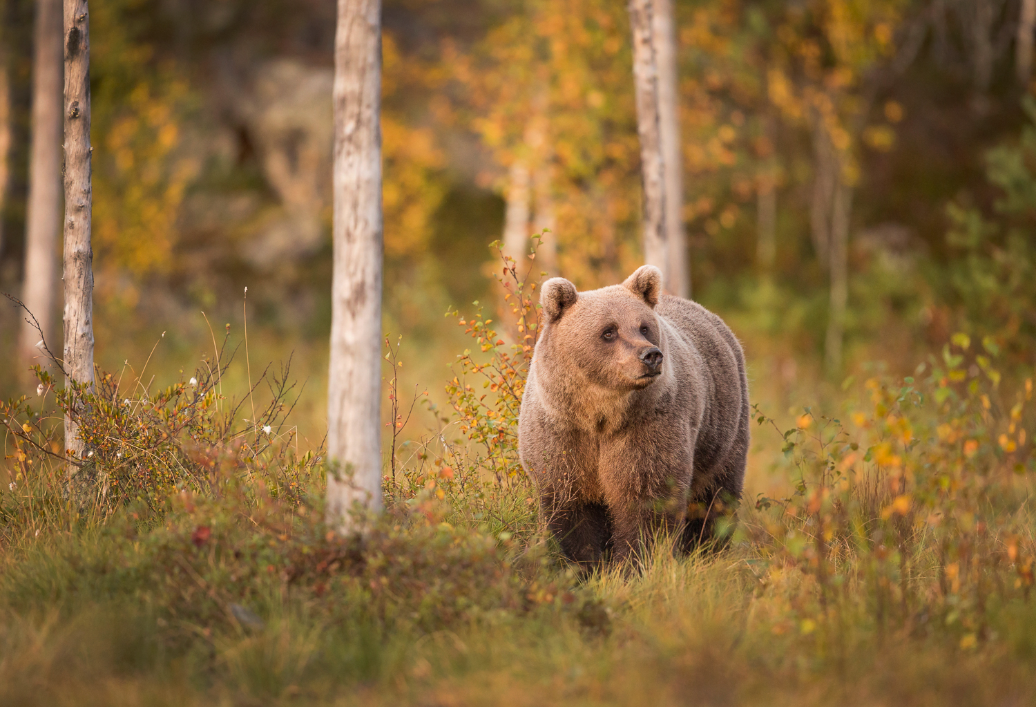 Brown Bear Photography Tour Finland_-7.jpg