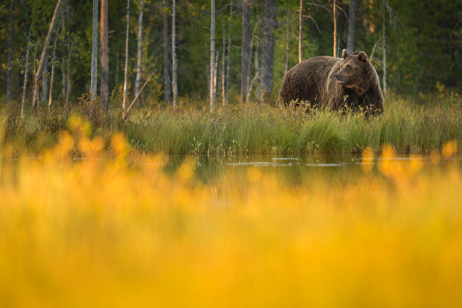 Brown Bear Photography Tour Finland_-11.jpg