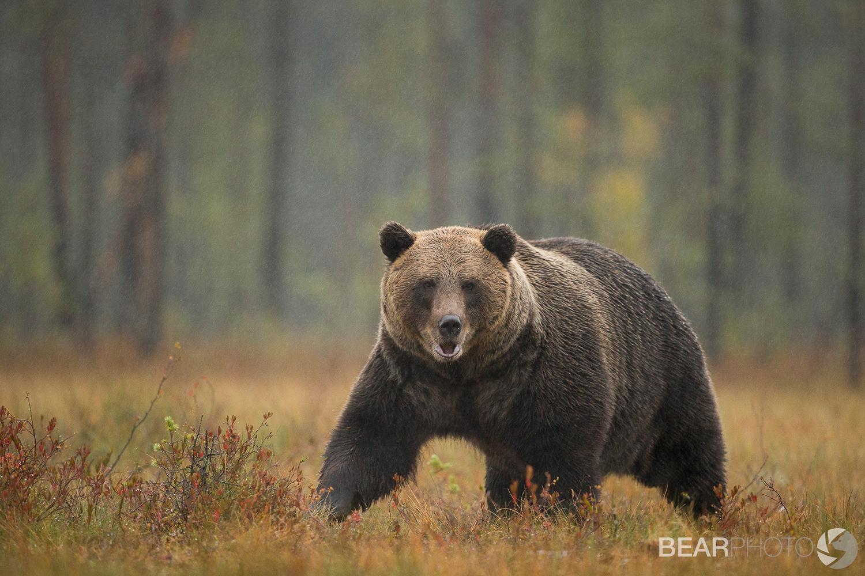 Brown Bear Photography Tour Finland_-5.jpg