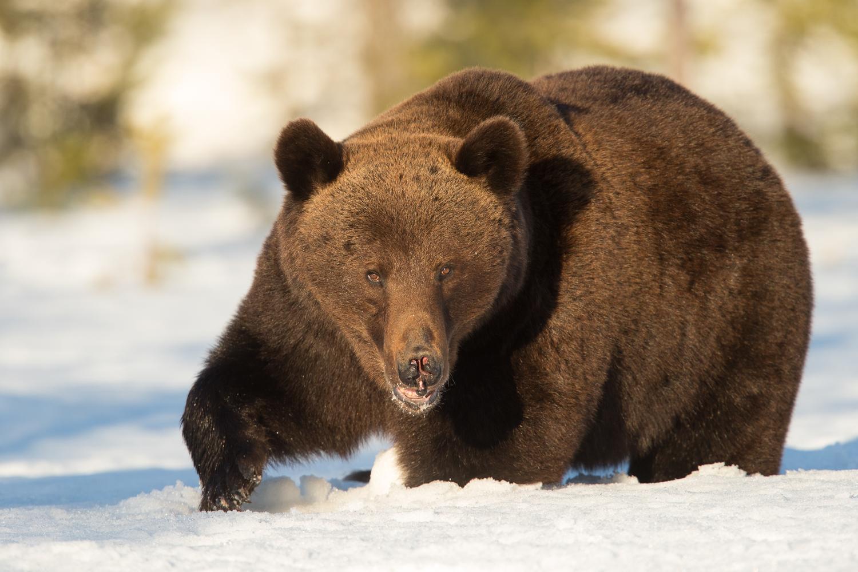 Brown bear photography tour Finland-15.jpg