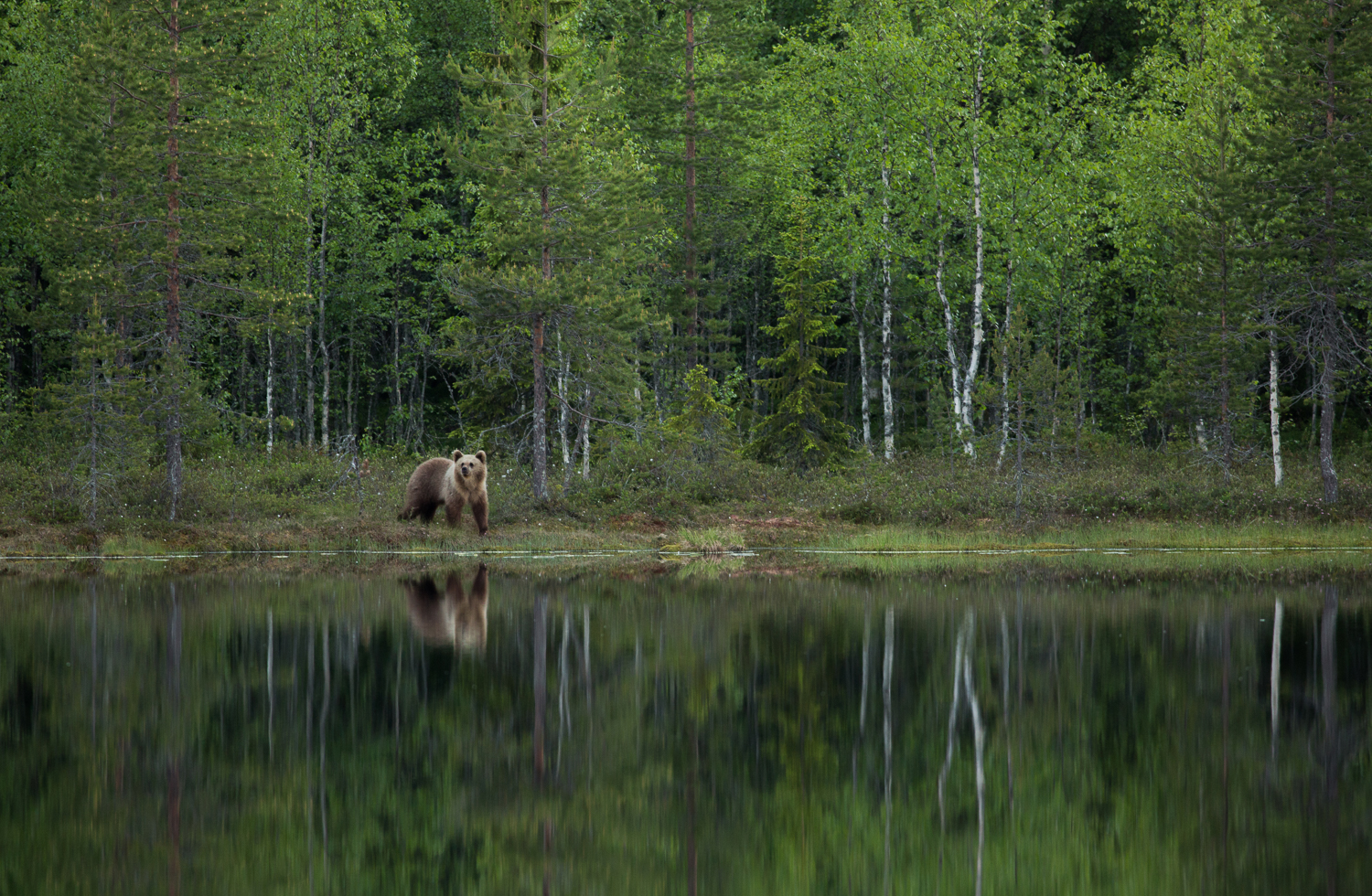 Brown bear photography tour Finland-2.jpg