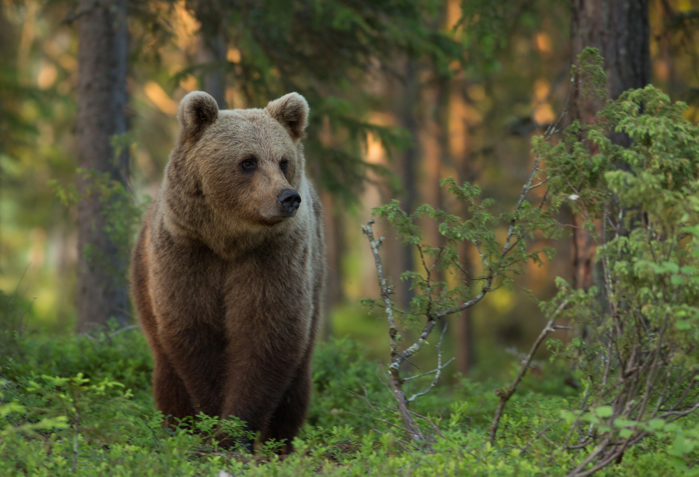 Brown bear photography tour Finland-4.jpg