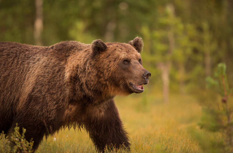 Brown bear photography tour Finland-24.jpg