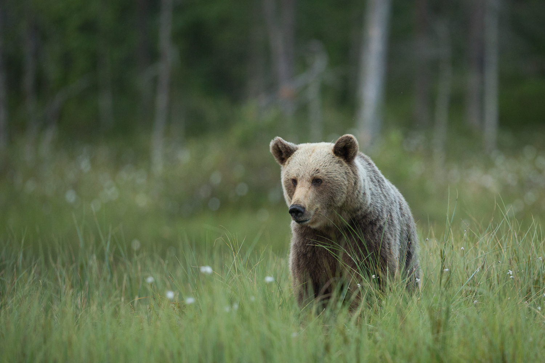Brown bear photography tour Finland-27.jpg