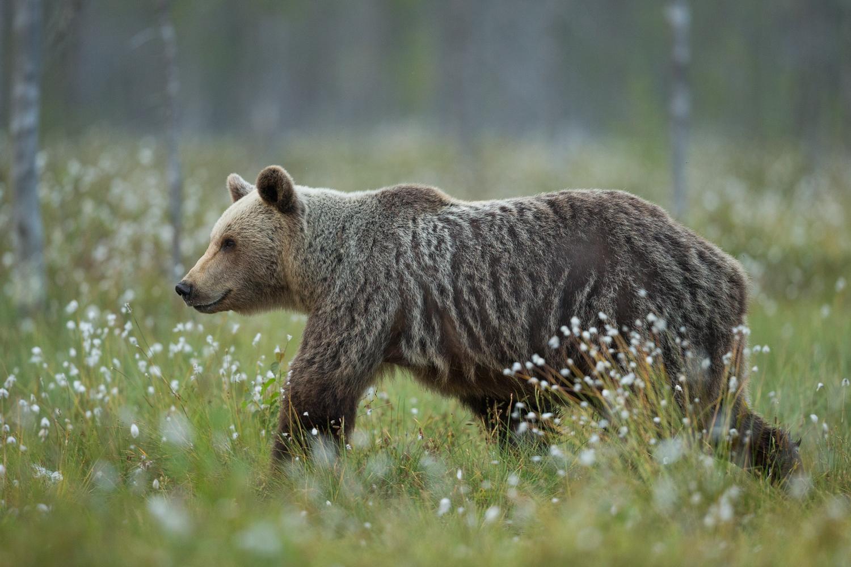 Brown bear photography tour Finland-29.jpg