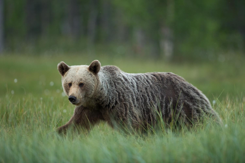 Brown bear photography tour Finland-28.jpg