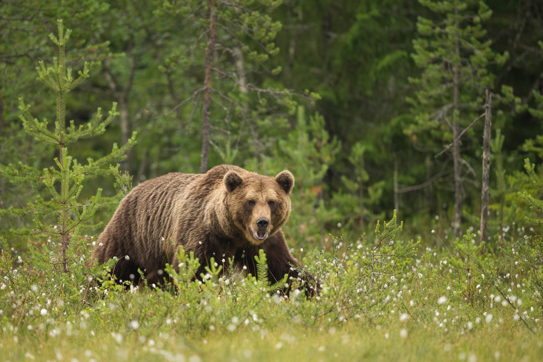 Brown bear photography tour Finland-30.jpg