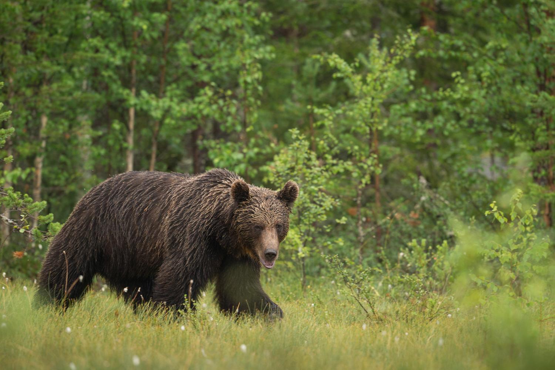Brown bear photography tour Finland-34.jpg