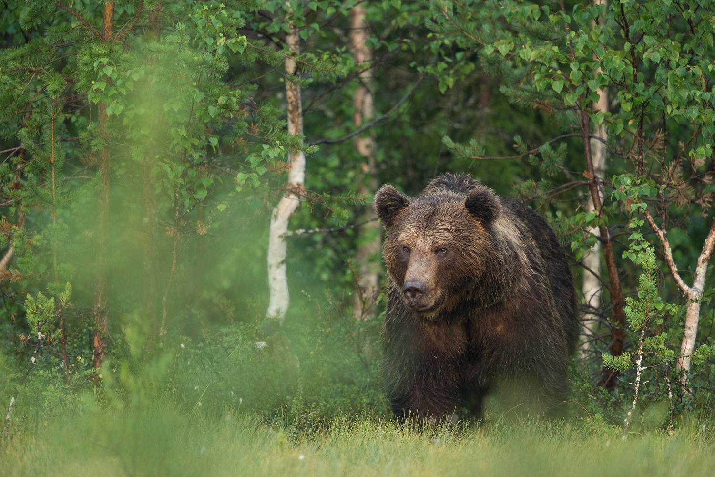 Brown bear photography tour Finland-37.jpg