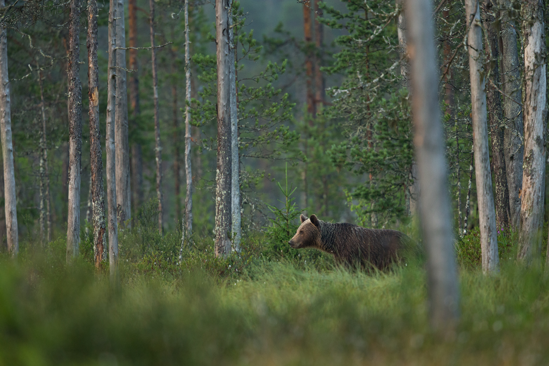 Brown bear photography tour Finland-36.jpg