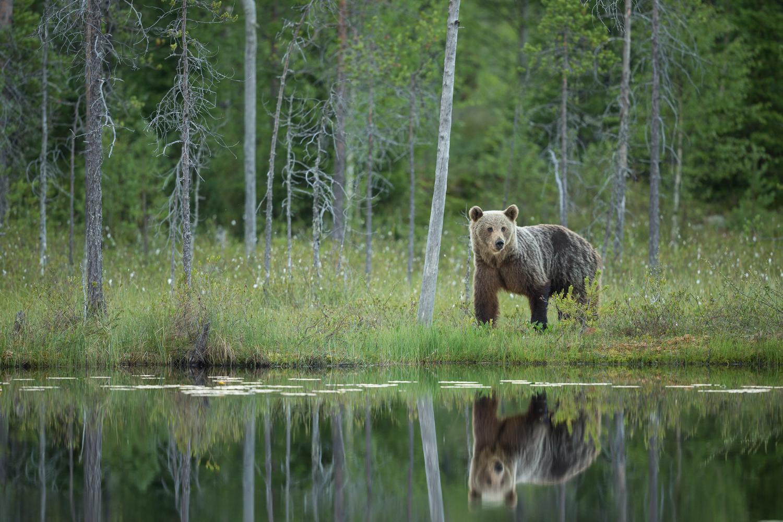 Brown bear photography tour Finland-40.jpg