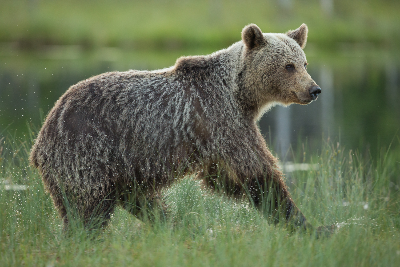 Brown bear photography tour Finland-42.jpg