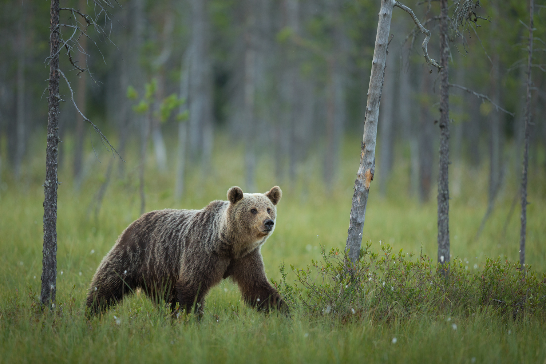 Brown bear photography tour Finland-44.jpg