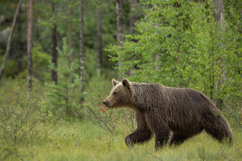 Brown bear photography tour Finland-45.jpg