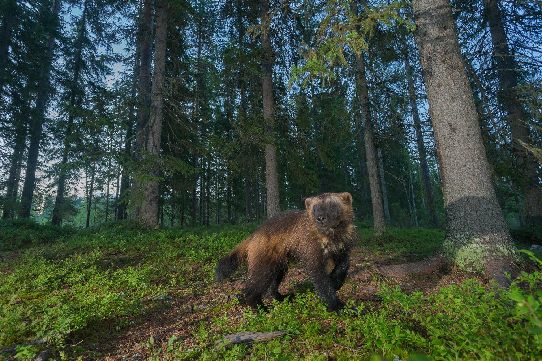 Brown bear photography tour Finland-49.jpg