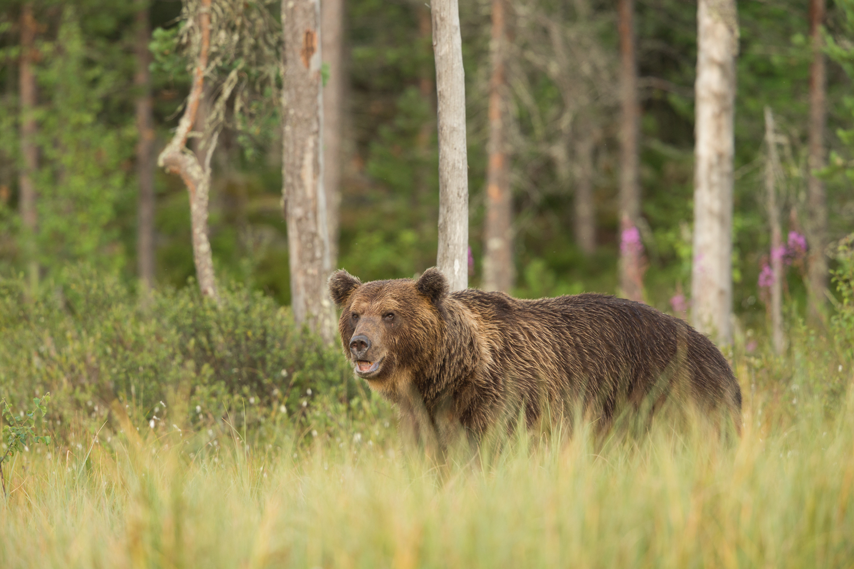 Brown bear photography tour Finland-48.jpg