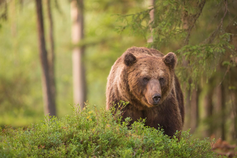 Brown bear photography tour Finland-52.jpg