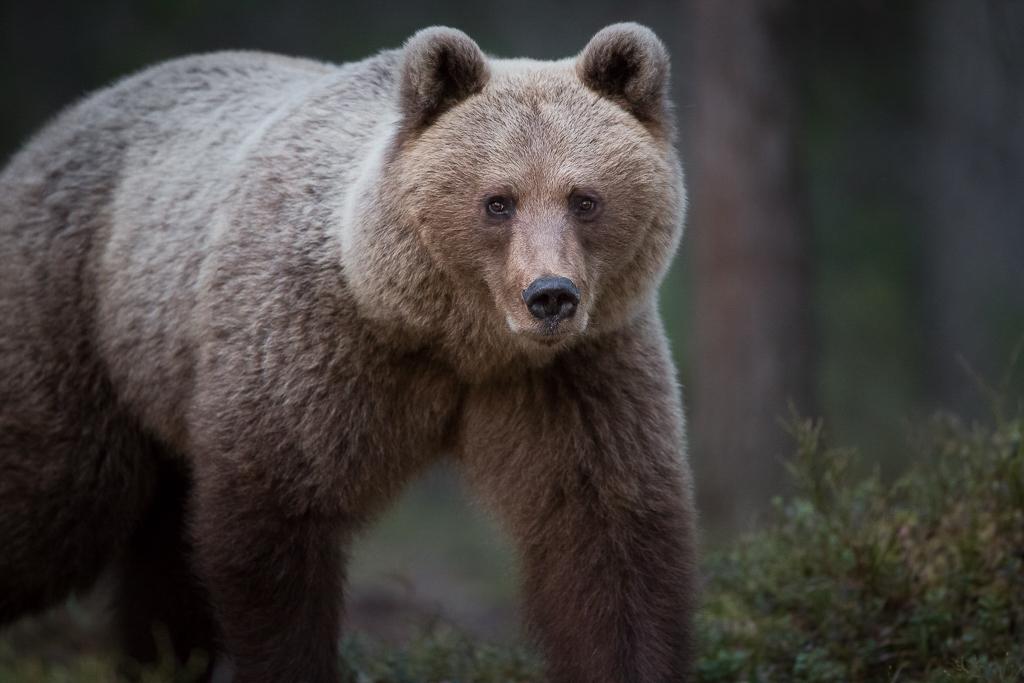 Brown bear photography tour Finland-9.jpg