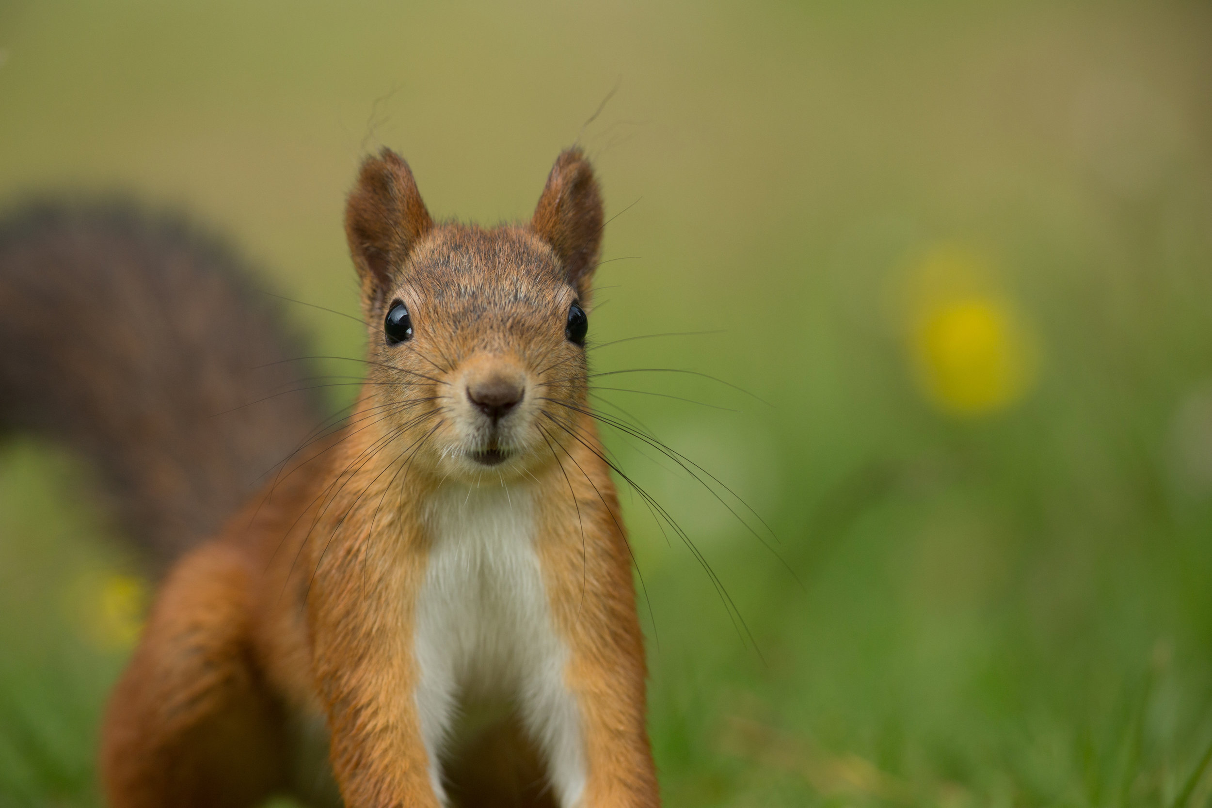 Red_Squirrel_0T2A9759.jpg