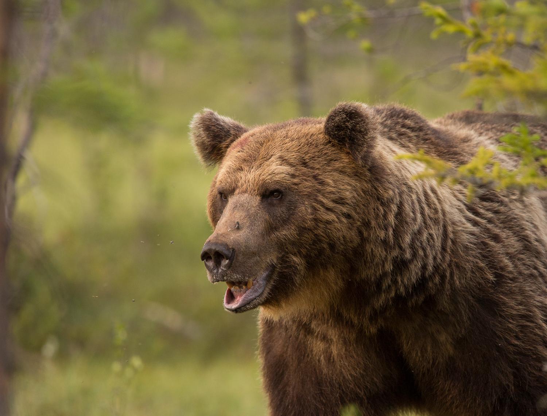 Brown bear photography tour Finland-2.jpg