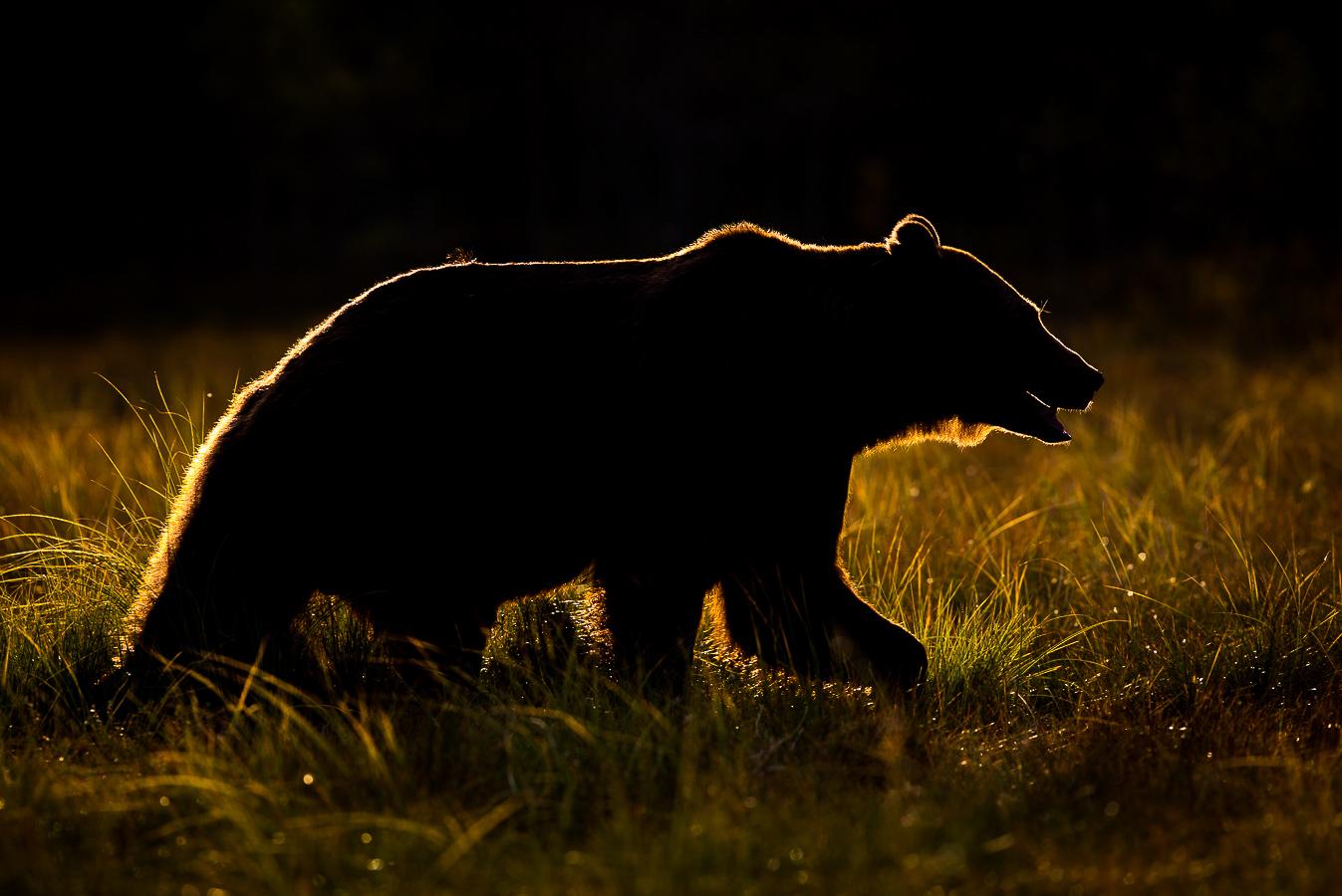 Brown bear photography tour Finland-3.jpg