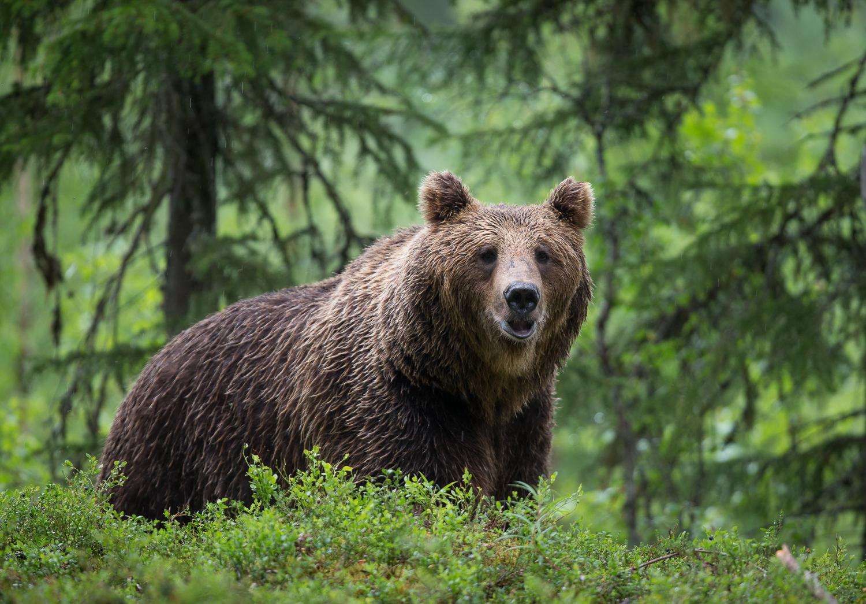 Brown bear photography tour Finland-8.jpg