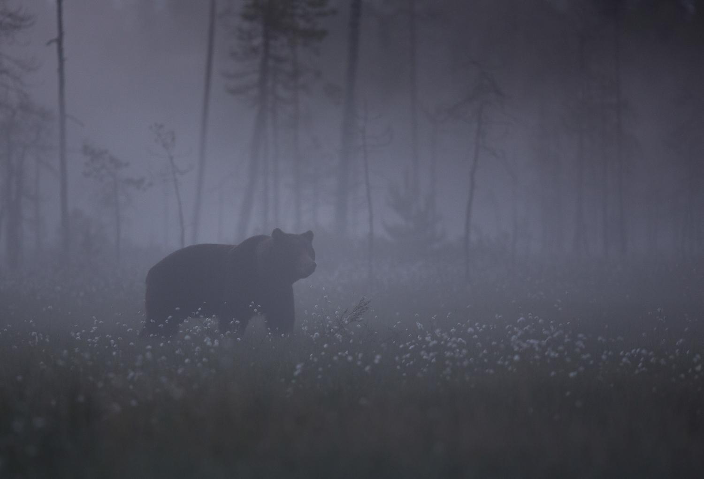 Brown bear photography tour Finland.jpg